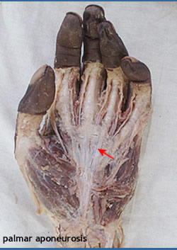 the joints of the wrist hand and fingers