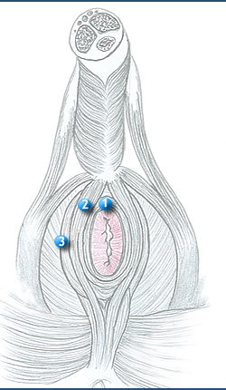 Sphincter Stretching http://www.oganatomy.org/projanat/gross/35/four.htm