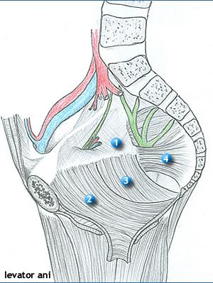 a perineumban lévő erekcióval
